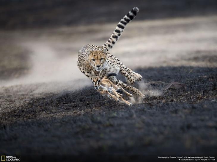 תמונות טבע מדהימות צ יטה רודפת אחרי צבי motion