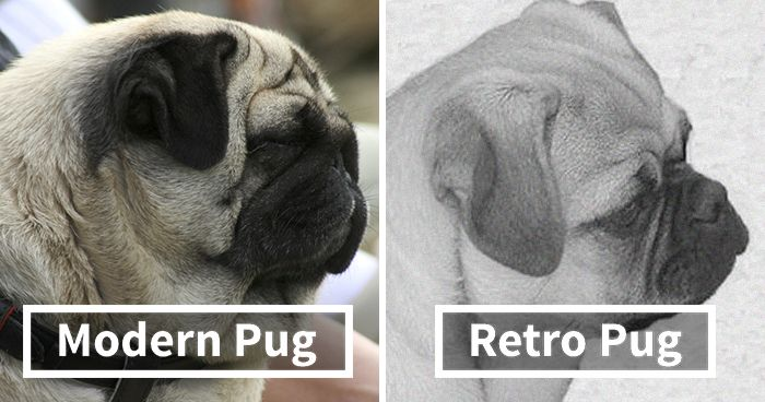 """Pugs Are Not Cute [They re] Malformed Sick Animals That"