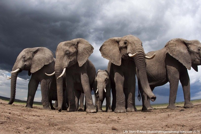 An elephant family surrounds a youngster at a salt lick in Kenya The youngster has