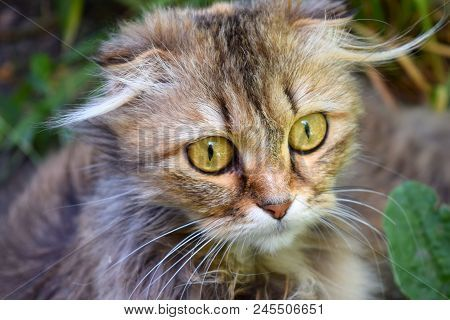 Young Surprised Cat Make Big Eyes Closeup American Shorthair Surprised Cat Kitten Funny Face