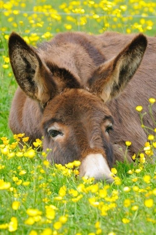Donkey dozing in a bed of buttercups I seriously want a donkey Shane me a donkey