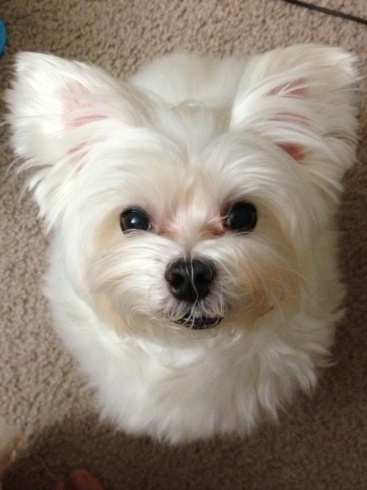 Maltese Puppies Dog Breeds Animals Beautiful Doggies