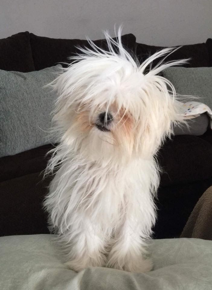 Maltese Dogs Bad Hair Day White Dogs Westies Maltese