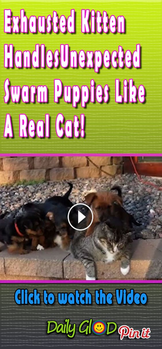 Tolerant cat cat dog family adorable puppies kitty kitten paw funny cat viral video grumpy kitten cute adorable puppies patient kitty sworm of dog