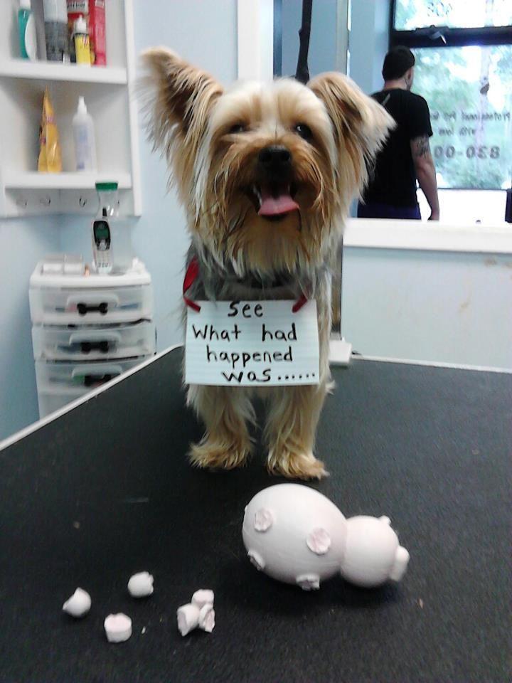 Yorkshire Terrier Dog Terrier Breeds Dog Shaming