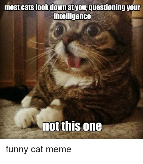 Cats Funny and Meme most cats look downat you questioning your intelligence