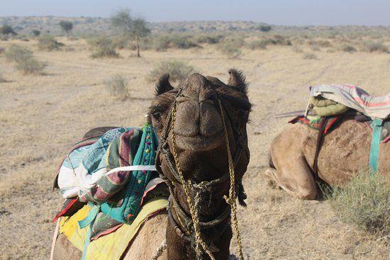 Karan Desert Safari funny camels