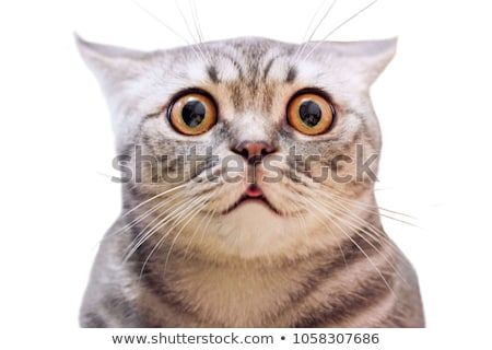 American shorthair surprised cat or kitten isolated funny face Cute tabby cat looking surprised and scared Emotional surprised wide eyed cat portrait