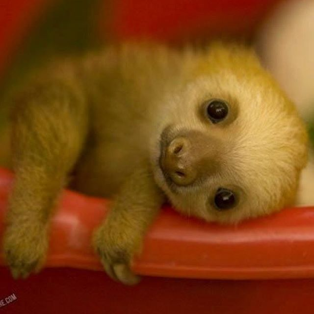 A baby sloth I dunno if anything beats that ❤ ❤ ❤ ❤ ❤ Good Morning Sloths Pinterest