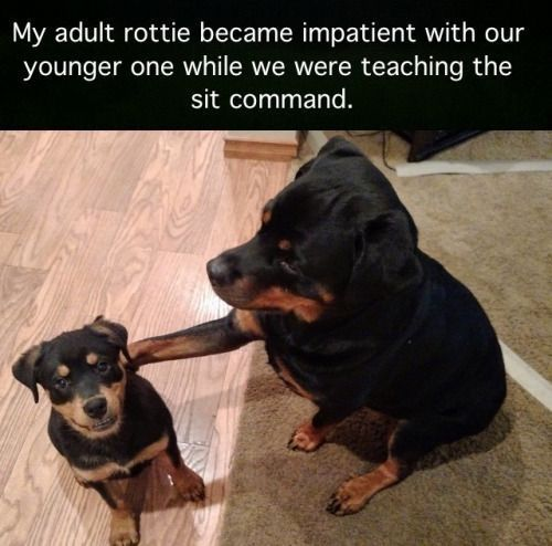 Stupid humans don t know how to properly train a dog – Adult rottie