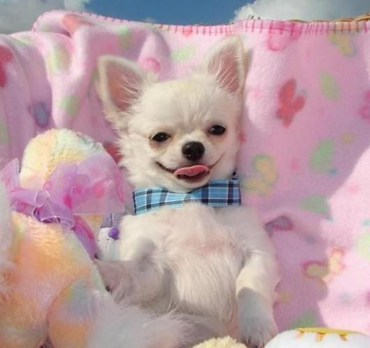 In the pink chihuahua Teacup Puppies Teacup Chihuahua Little Dogs Cute Dogs