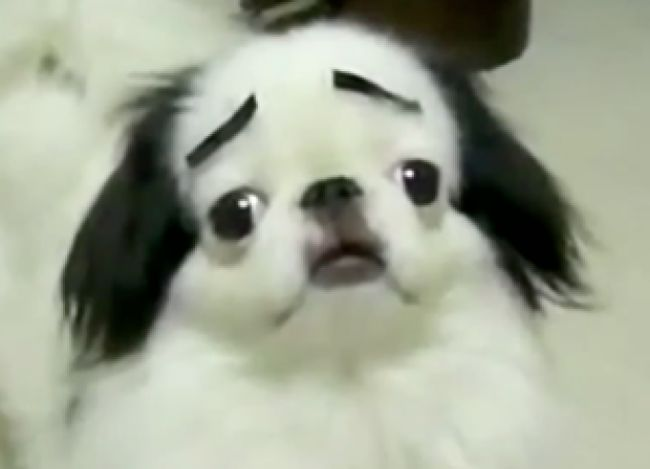 Dogs with human eyebrows taking a selfie
