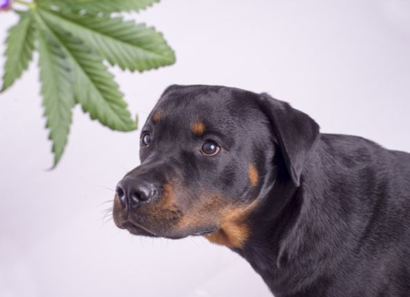 Can Dogs Get High The Dangerous Effects of Marijuana on Dogs