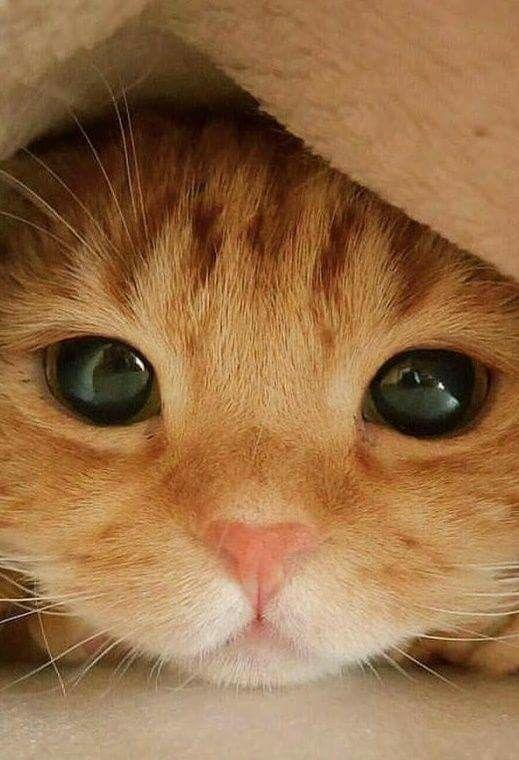 Peek a boo Hello Sweetie Hip Pain Pretty Cats Beautiful Cats Animals