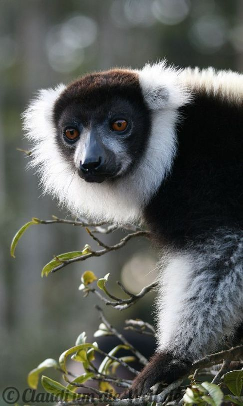 "Black and White Ruffed Lemur Varecia variegata ""Vari Lemur """