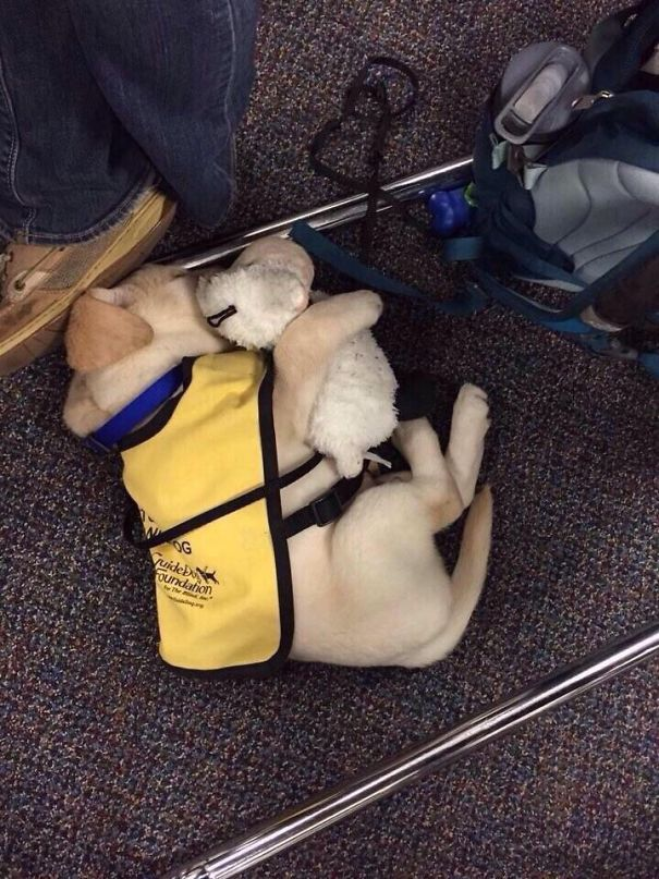 2 Guide Dog Puppy With His Teddy Bear