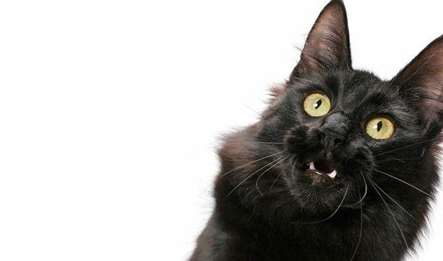 Turkish Van cat face