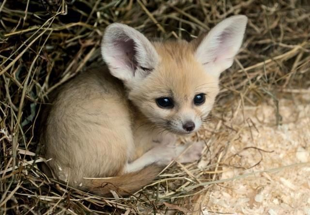 Rare fox cub Funny animal pictures