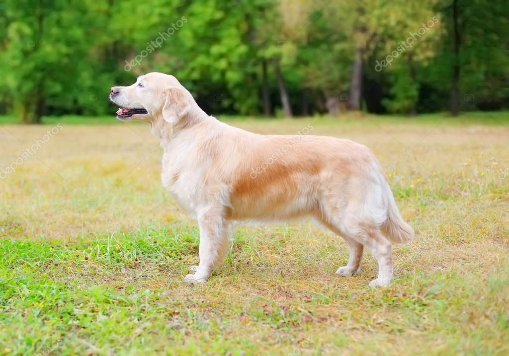 Happy Golden Retriever dog standing on grass in park side view — Stock