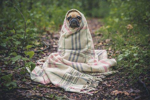Pug Dog Pet Animal Puppy Cute