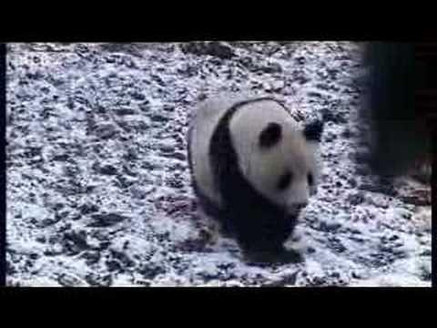 Giant panda bears in the forest David Attenborough BBC wildlife