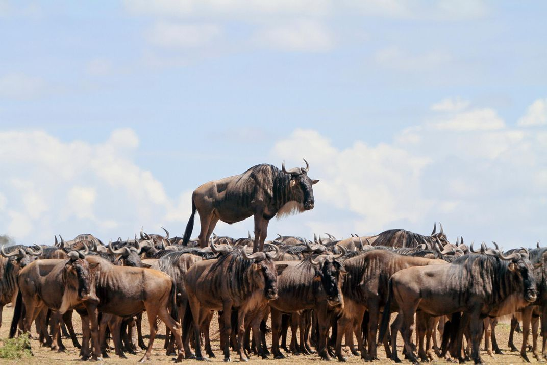 """A wildebeest s a leg up on the crowd in Masai Mara Kenya in this highly mended image entitled """"Animal Encounters """" Jean Jacques Alcalay edy"""