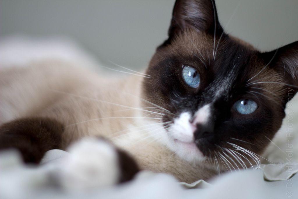 munchkin cat Snowshoe Munchkin Cat