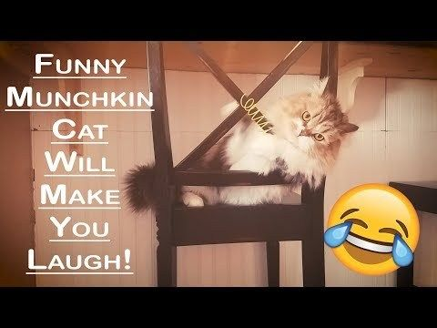 Get the Awesome Funny Munchkin Cat Pictures