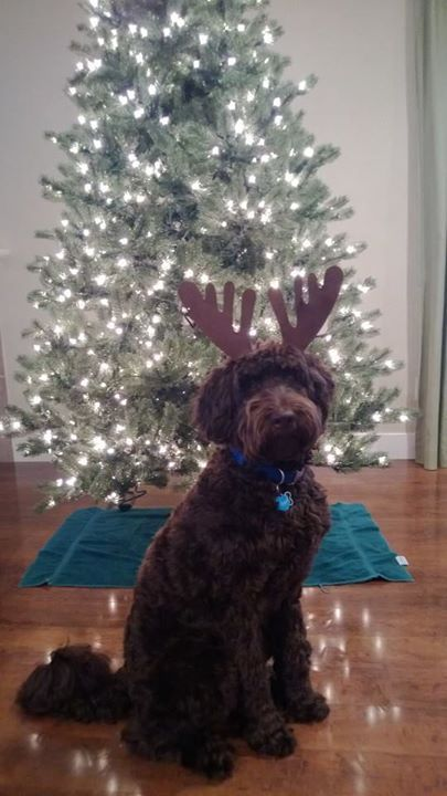 Joey the Labradoodle trims the tree