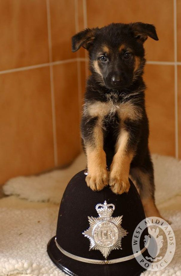 18 7 Weeks Old Police Puppy