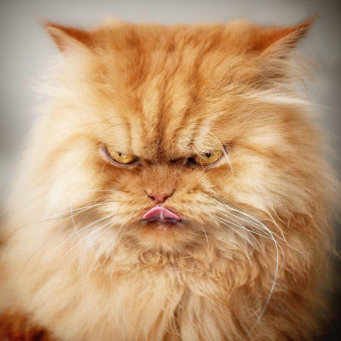 Meet Garfi The World s Angriest Cat