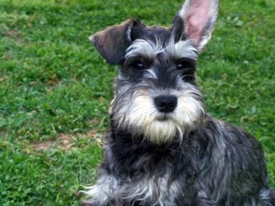 The Miniature Schnauzer is a excellent dog for apartment life and will be calm indoors so