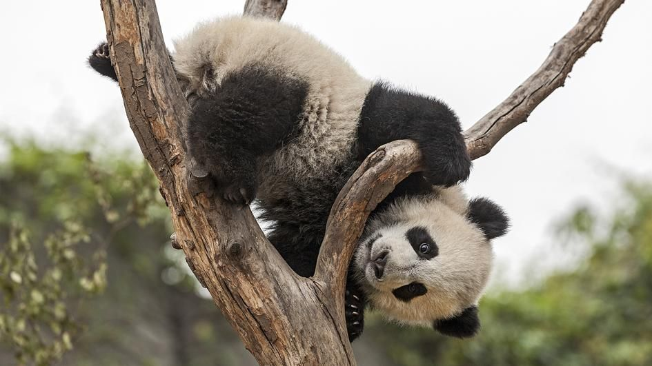 Giant pandas are shy and don t venture into areas where people live