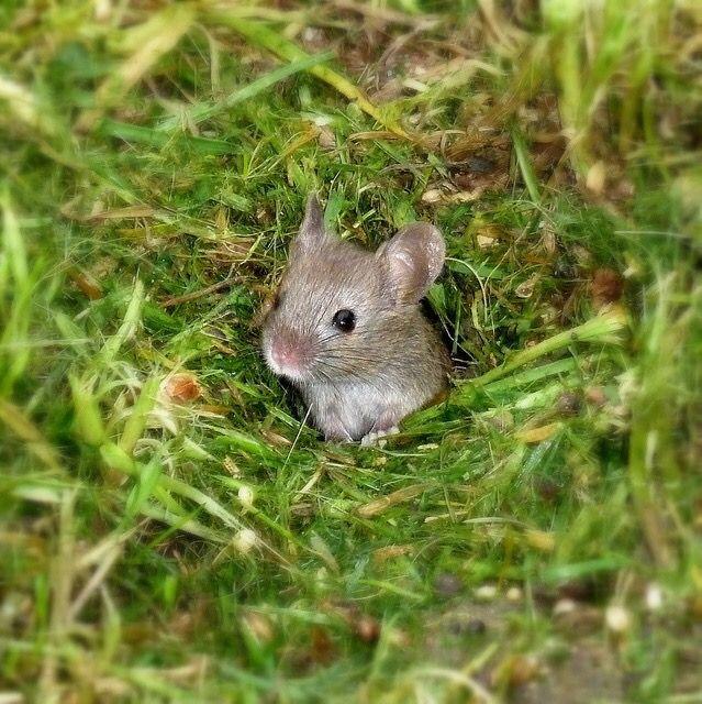 Harvest Mouse Cute Mouse Rodents Hamsters Gerbil Guinea Pigs Pet