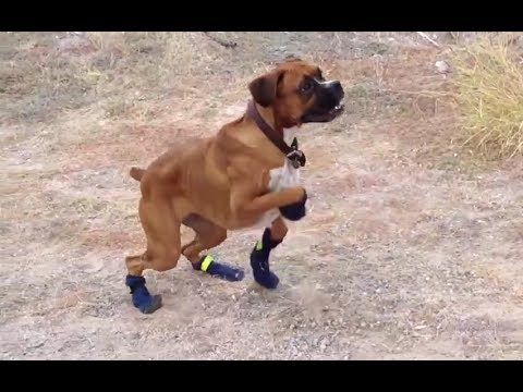 Funny Dogs in Boots for the First Time pilation