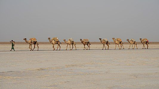 Camel train in Afar Region