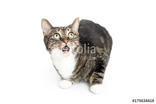 Funny cat on white with surprised expression on face Mouth open and eyes wide