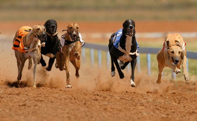 Ever thought about adopting a beautiful greyhound Now s the time in Florida as many