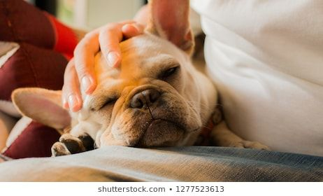 White French Bulldog puppy sleeping on its owner s lap Its owner s hand patting its head