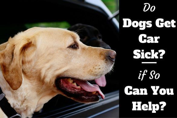 Do dogs car sick written beside a yellow lab sticking head out of car window