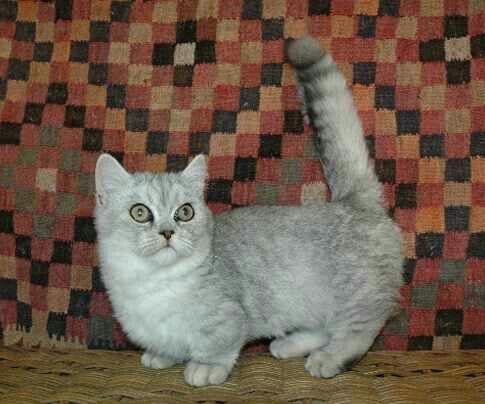 Munchkin cat My next cat