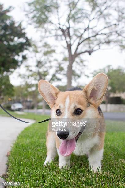 Corgi dog pooping