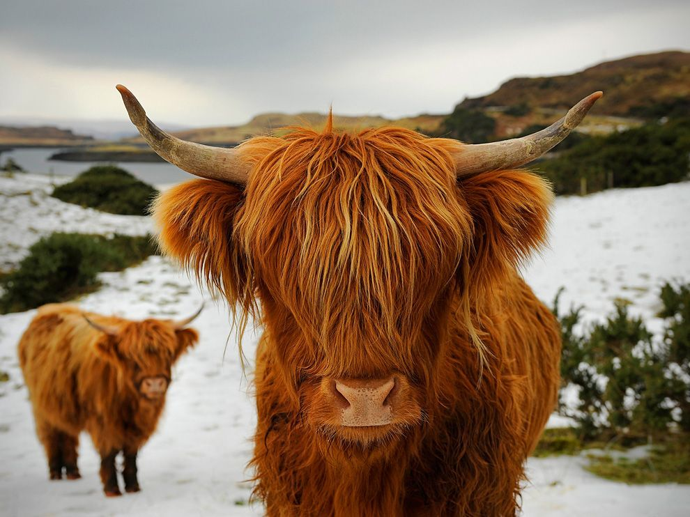 All You Need To Know About Highland Cattle