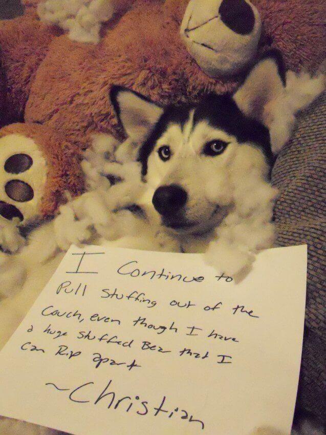 Naughty Husky