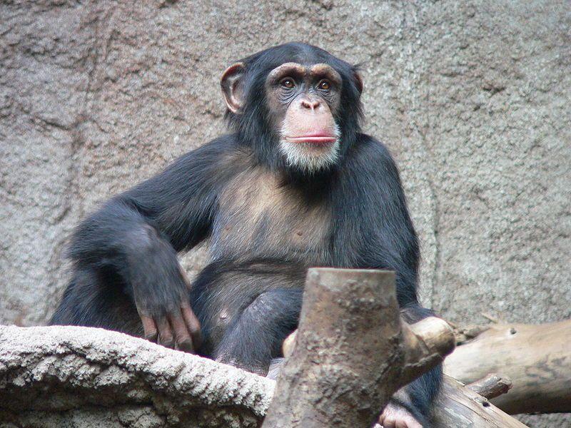 mon chimpanzee in the Leipzig Zoo Image credit Thomas Lersch via