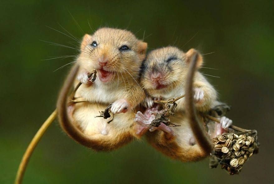 But these little field mice are danged cute