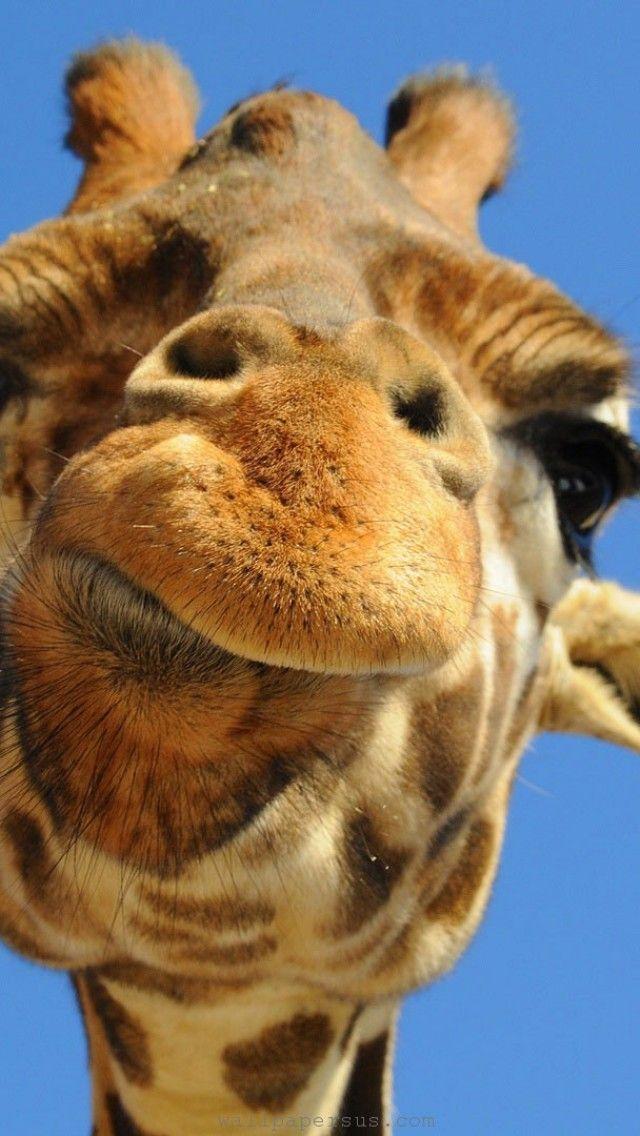 Iphone Wallpaper Animal Wallpaper Giraffe Animal Funny Spotted