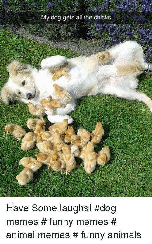 Animals Funny and Funny Animals My dog s all the chicks Have Some