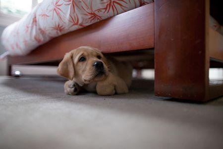 Puppy lab under bed