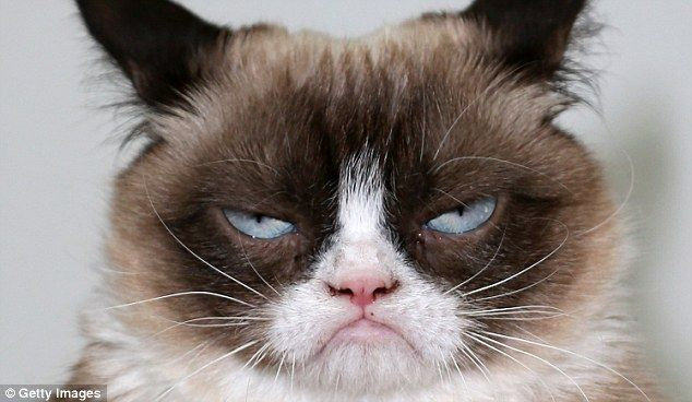 The world s grumpiest cat 40 Funniest Grumpy Cat Memes Pics